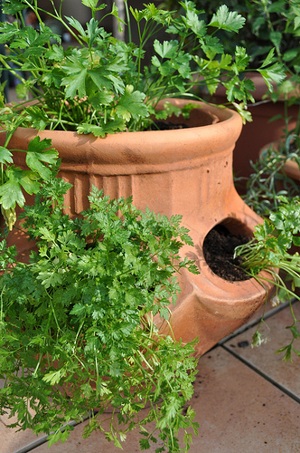 6 unusual herbs to plant in your spring garden, gardening, Chervil grows in a clay planter Photo fred b Flickr