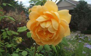 easy tips for pruning roses, gardening, Rose Golden Celebration shrub rose