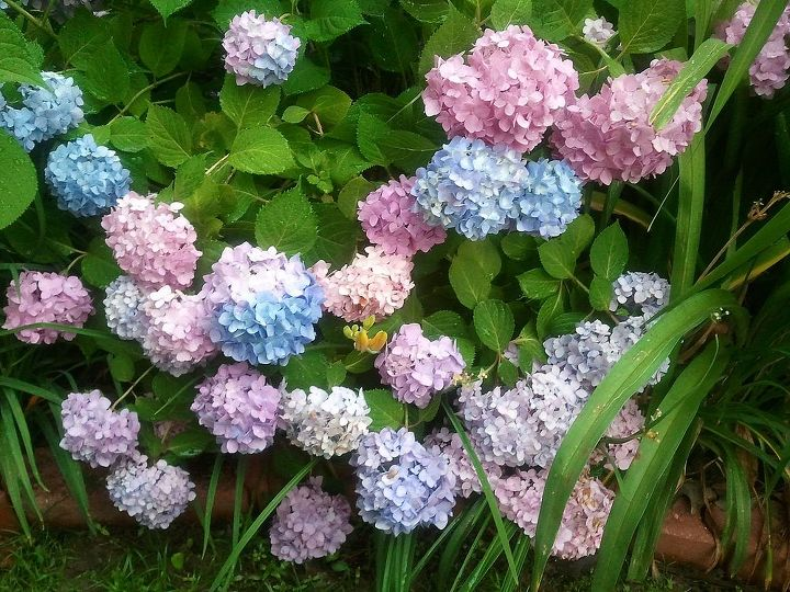 Endless Summer hydrangea in neutral soil. I get blue, purple and pink blooms !