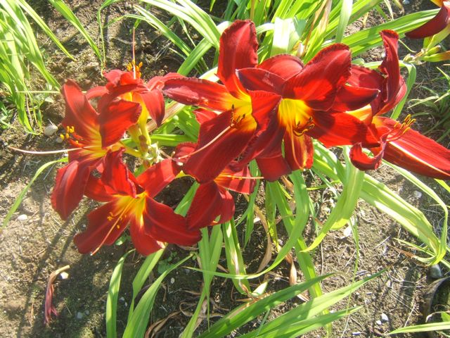 Daylily 'Mohican Chief' really knocks your socks off.