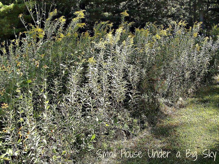 Golden rod along the edge of this Michigan meadow garden.
