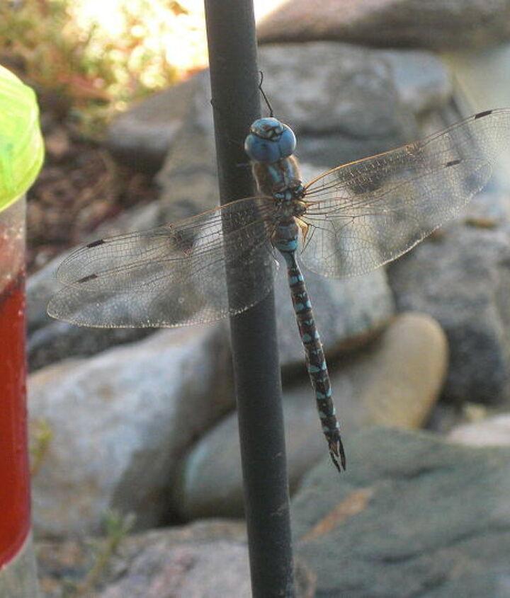 the beautiful dragon flies in my amazing desert garden, gardening
