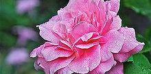 old roses and new hardy roses, gardening, Belinda s Deram