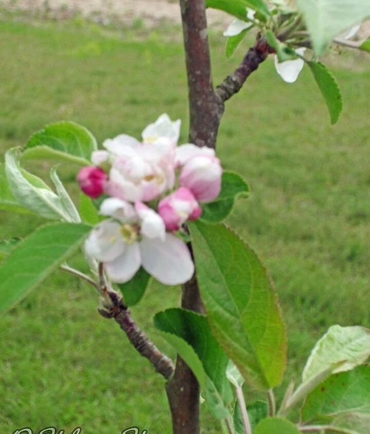Apple Tree Blooms.  Aren't they just beautiful?