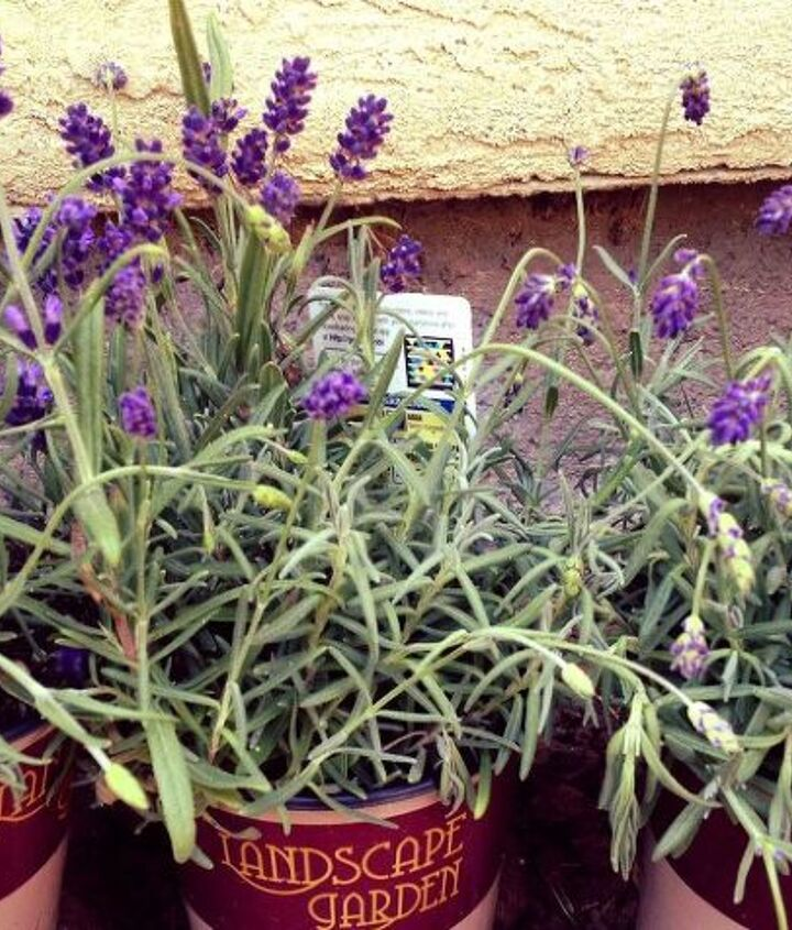 q why does my lavender look like this, gardening