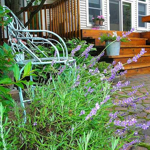 q how do you remove the dried lavender buds from the plant, gardening