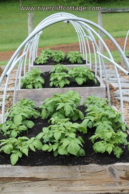 raising potatoes in raised beds, gardening, raised garden beds