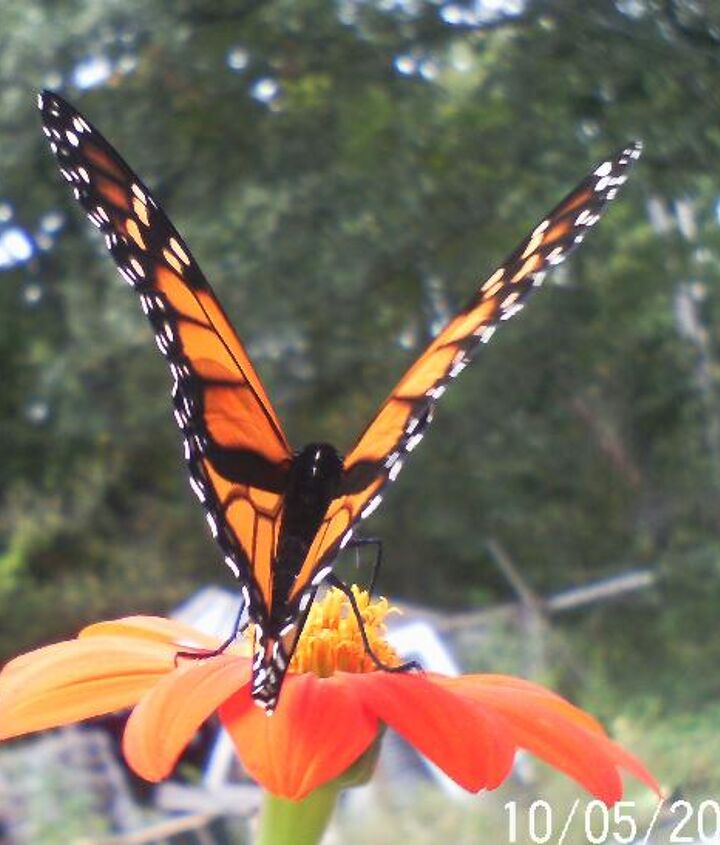 monarchs and bee s in october i was so shocked, flowers, gardening, pets animals