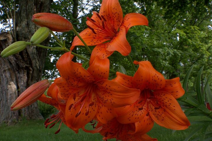 Bright orange tiger lily in my yard. If you look closely in the background on the left, you can see a small trash tree we have growing out of our maple tree.