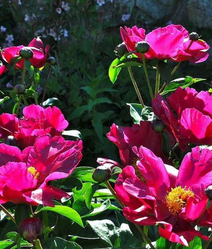 Peonies opening up in the morning