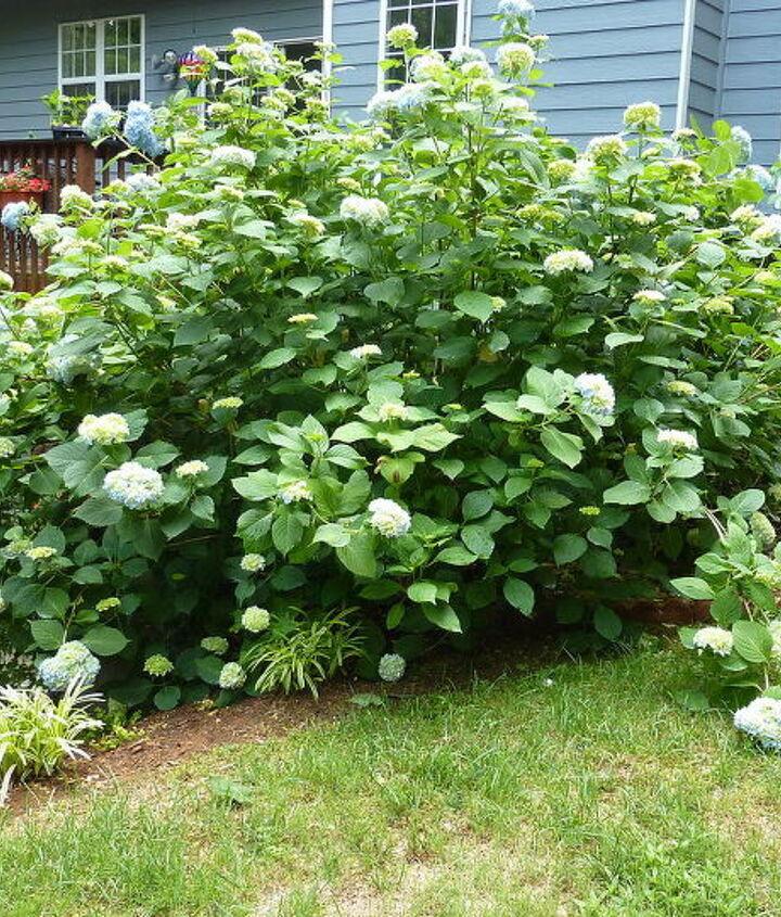 front view of hydrangea bush