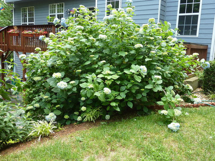 front view of hydrangea bush