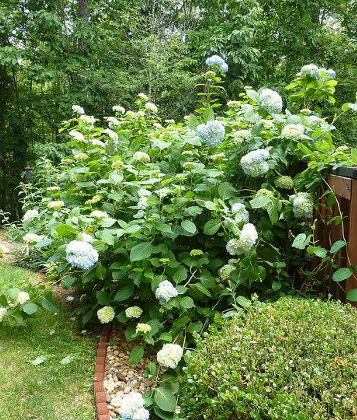 side view of hydrangea bush