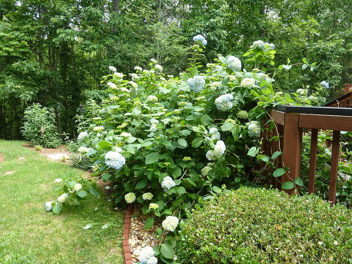 side view of hydrangea bush
