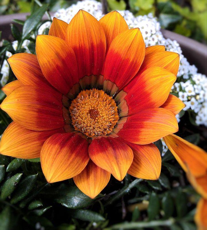 orange color flowers, flowers, gardening, Gazania