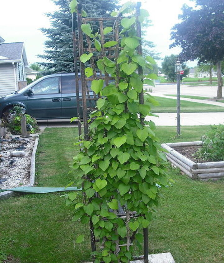 Vine growing up seated arbor nice in front of house, the flowers on it are shaped like a saxaphone, really, more like pods, cannot think of the name of it darn........