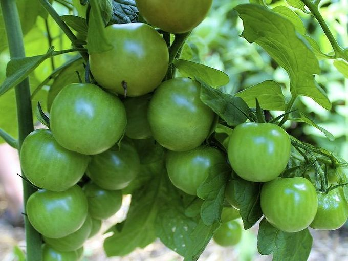 guide to growing tomatoes, gardening, Even regular watering of about 2 per week bi weekly top dressing with compost and 6 hours of sunlight will ensure a harvest of juicy plump tomatoes like these cherry tomato variety