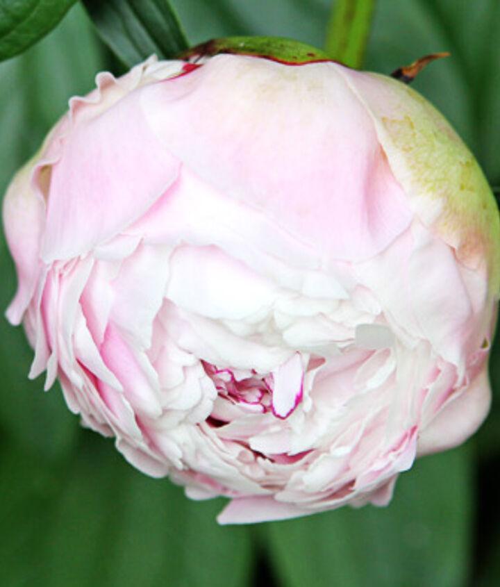 Sarah Bernhardt peony - delicate light pink blooms