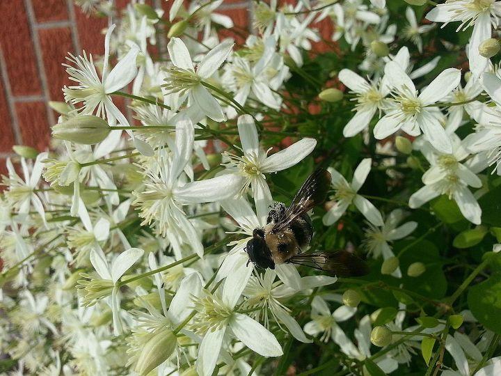 fall clematis, gardening