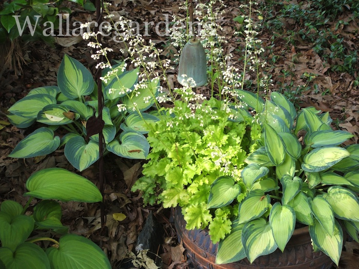 Hostas - there are so many to choose from, and most of them have beautiful heart-shaped leaves.