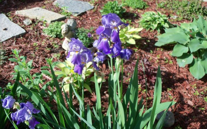 purple iris coming up faithfully- a gift last year from a friend!