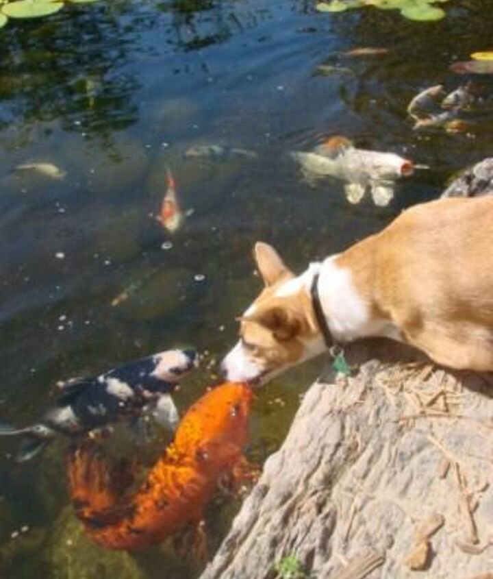fish food it s not just for fish anymore, outdoor living, pets animals, ponds water features