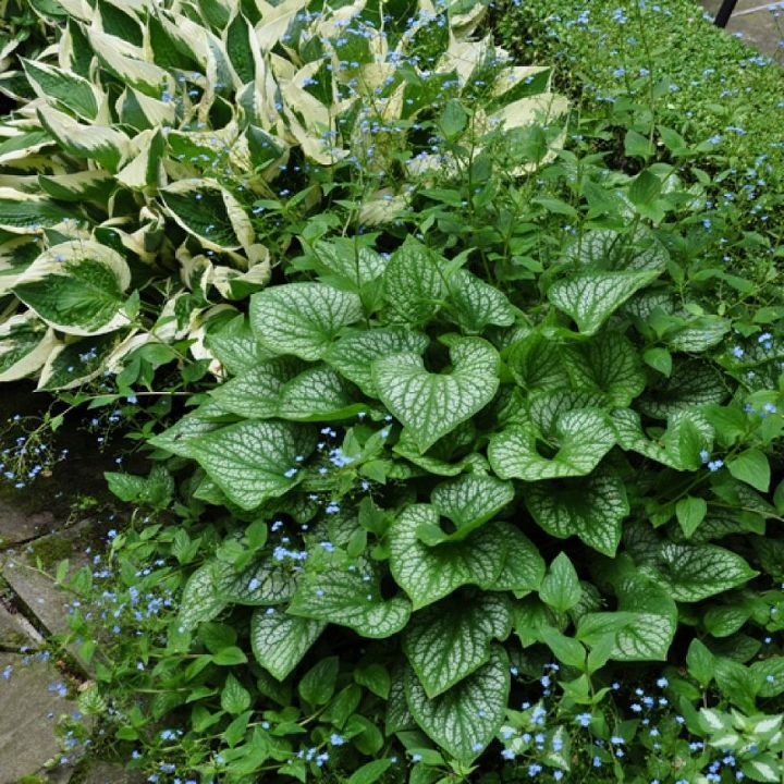 The backyard has quite a bit of tree cover and shade lovers like hosta  (top left), and Brunnera (bottom right) have been used in the flowerbeds that surround the pool.