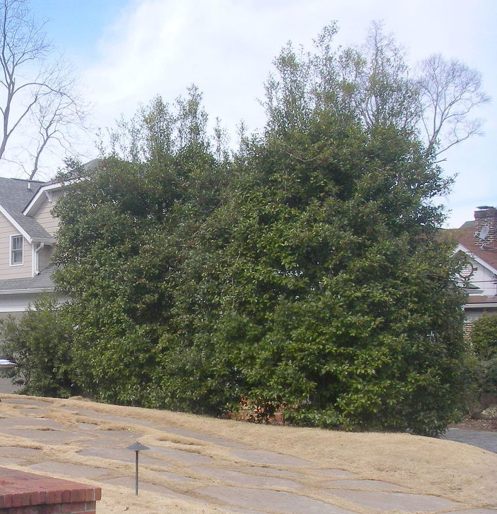 BEFORE photo of holly hedge