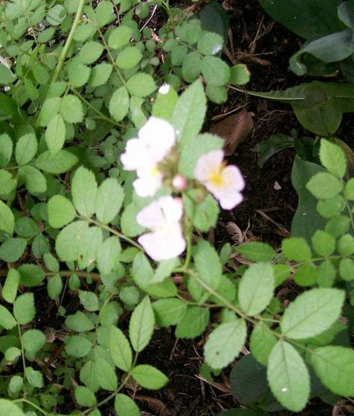 flower is small, white and grows far out on the branches, not near the main body