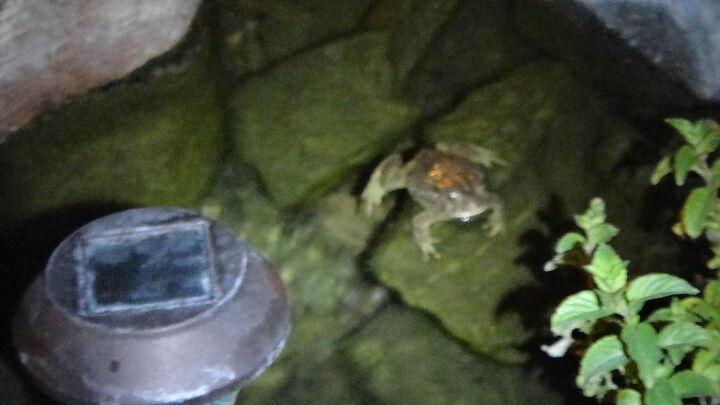 my toads in the amazing desert garden, gardening, pets animals