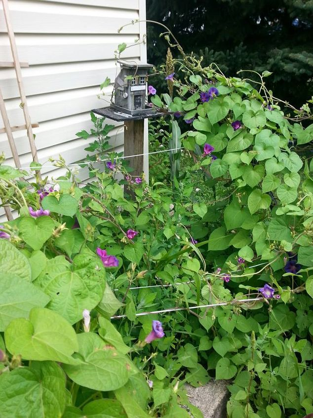 Morning Glories on my plow and my front deck