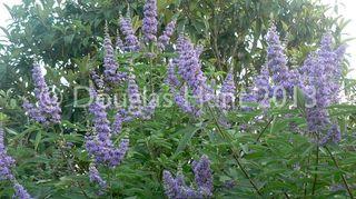 front flower bed need ideas please, flowers, gardening, landscape, Vitex agnus castus Shoal Creek