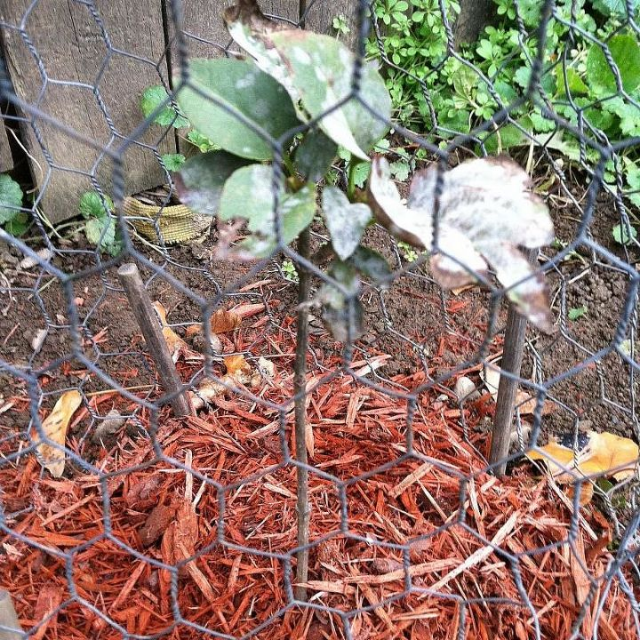 q lilac sapling discolored leaves, gardening