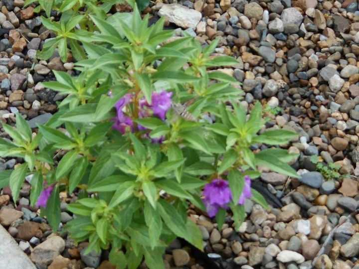 i have a plant that i can t identify anyone know what this is, flowers, gardening, Please tell me if you can identify this plant I would appreciate it My good friends who know a lot about plants have never seen this one