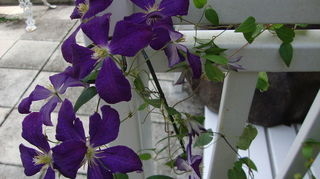 clematis will it live or will it not, container gardening, flowers, gardening, Clematis Jackmanii