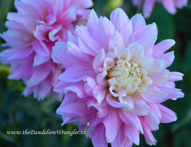 This pink dahlia is stuffed so full of petals it almost looks like a clematis.