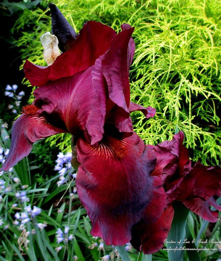 Dad's dark burgundy iris from years ago