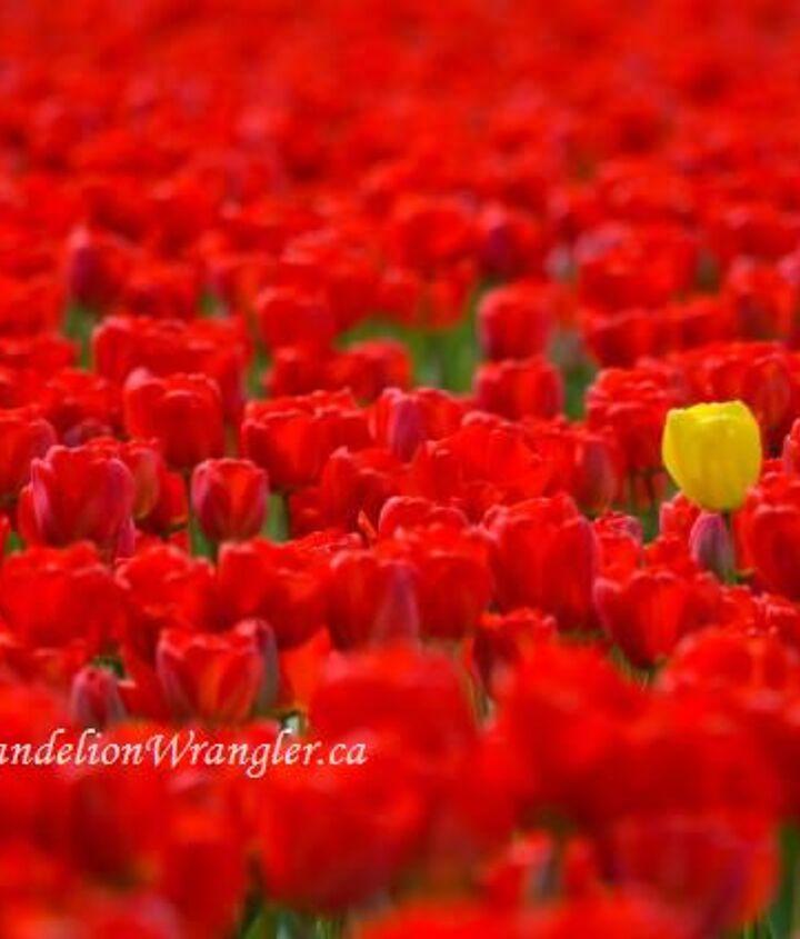 skagit valley tulip festival 2013 the flowers of roozengaarde, flowers, gardening