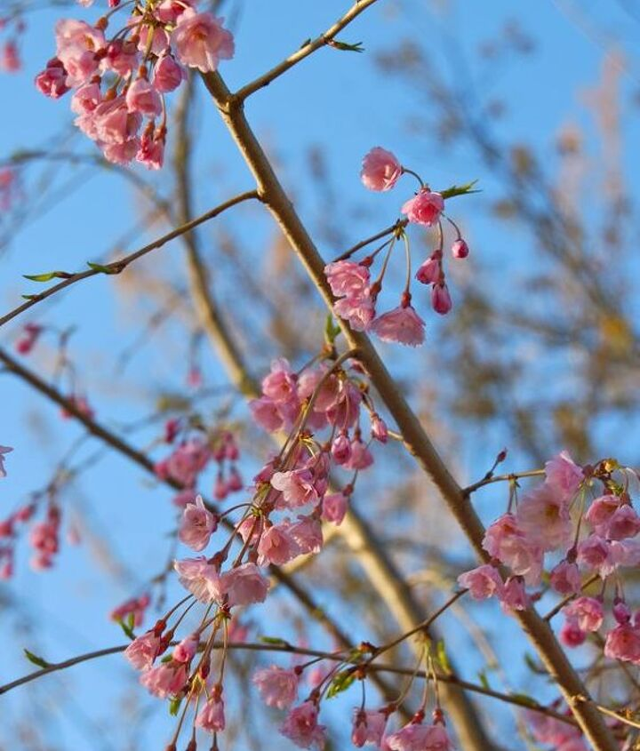 Cherry blossoms against the blue spring sky.