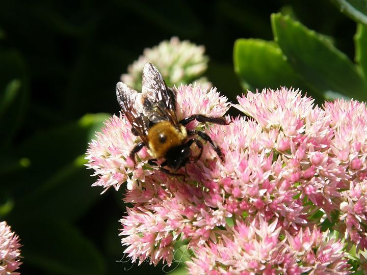 The bees have taken over the sedum plant.