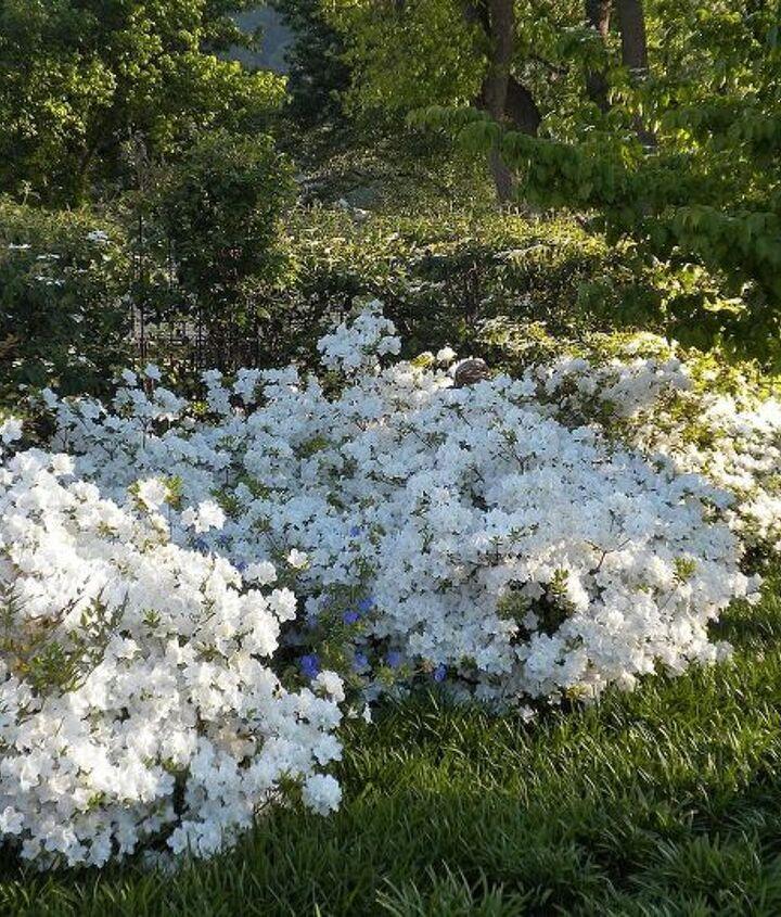 Azaleas in bloom (late April)