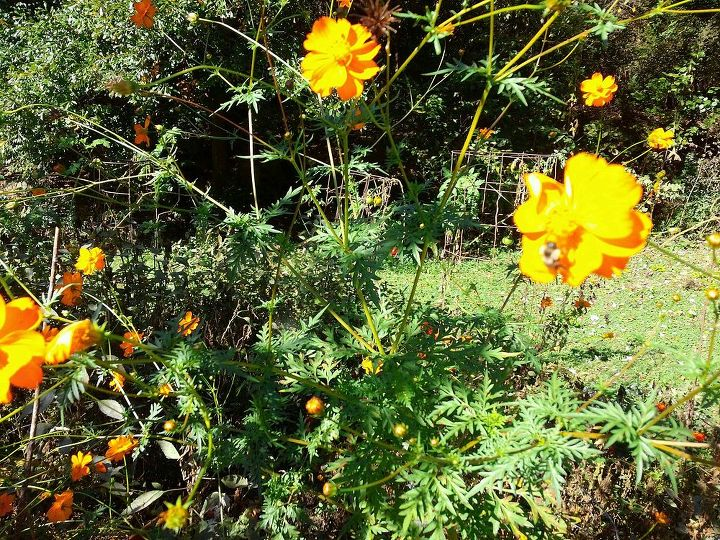 although they look yellow here these are actually Orange cosmos (the taller ones)
