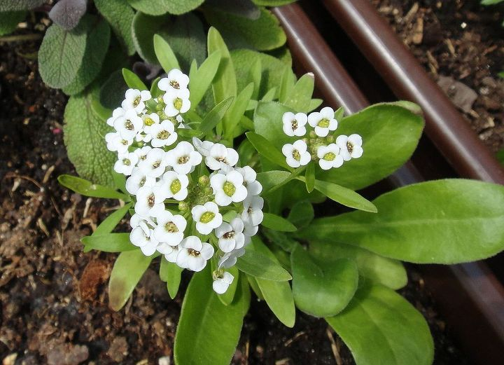 5. Sweet Alyssum. Attracts hoverflies (enemy of aphids) and bees.