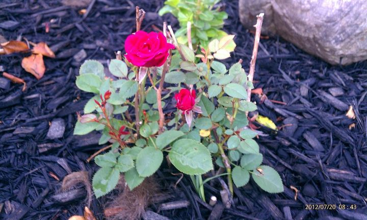 This one was transplanted to the new rose garden too!