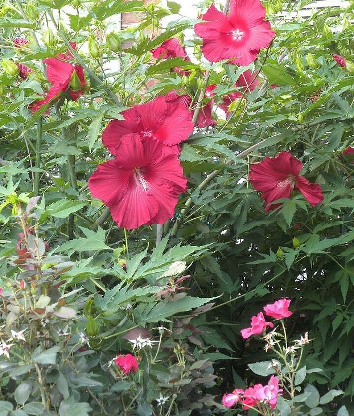 Mature Hibiscus with Knockout Roses in foreground (this is in the front landscape)