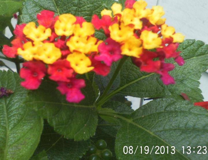 Lantana love this flower