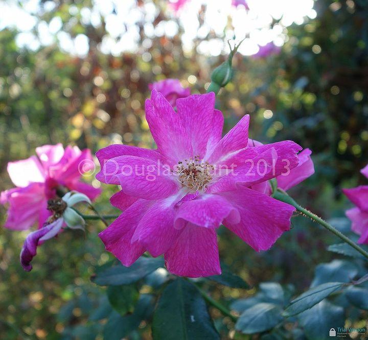 "Rosa ""Old Blush"" (zones 6-9)"