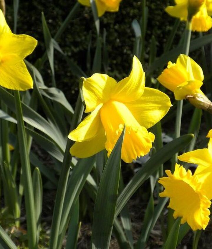 Daffodils (late March- April)