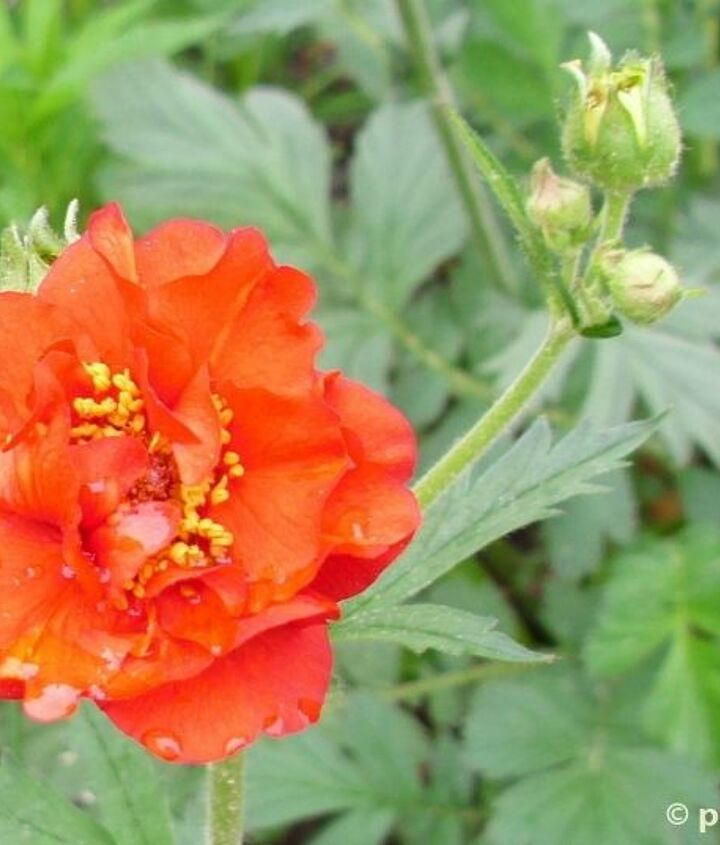 Mrs. Bradshaw Geum: red semi-double petals with yellow centers.