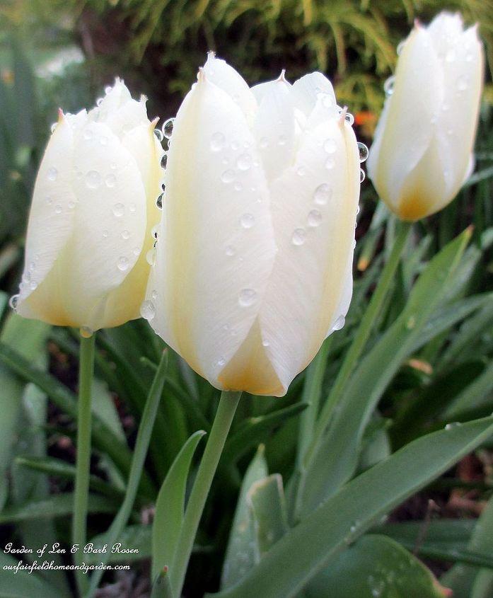 Perennializing Tulips